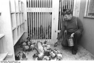 Żywienie gołębi